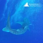Vilamendhoo Maldives Whale Shark