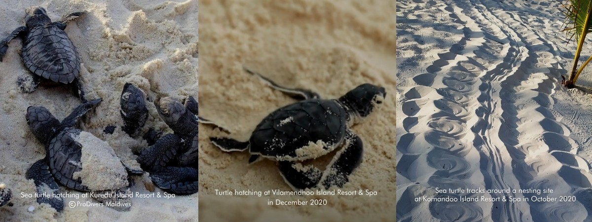 Sea Turtle Hatching Maldives @ Kuredu, Vilamendhoo, Komandoo