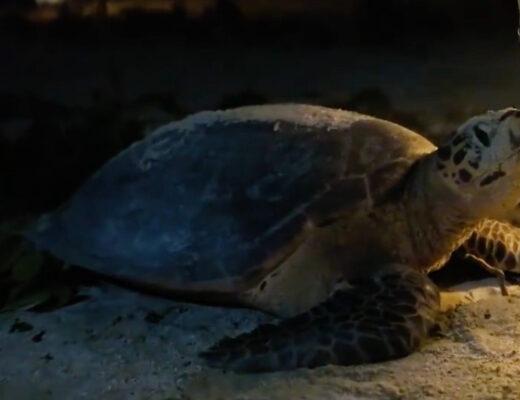 Sea Turtle Lays Eggs on Kagi Maldives Spa Island
