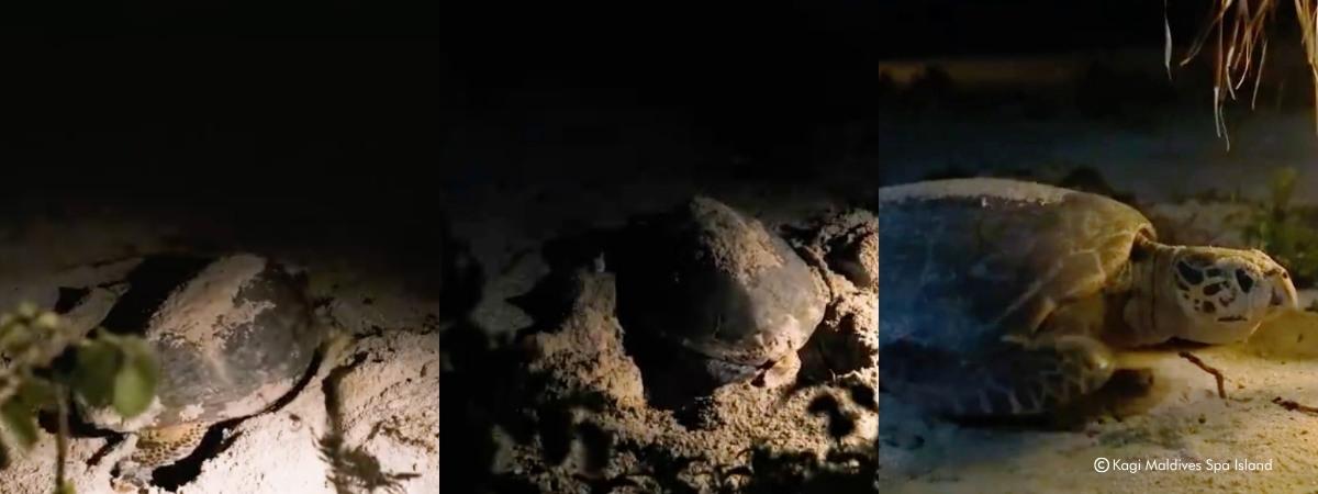 Sea Turtle Nesting in The Maldives at Kagi Maldives Spa Island-2