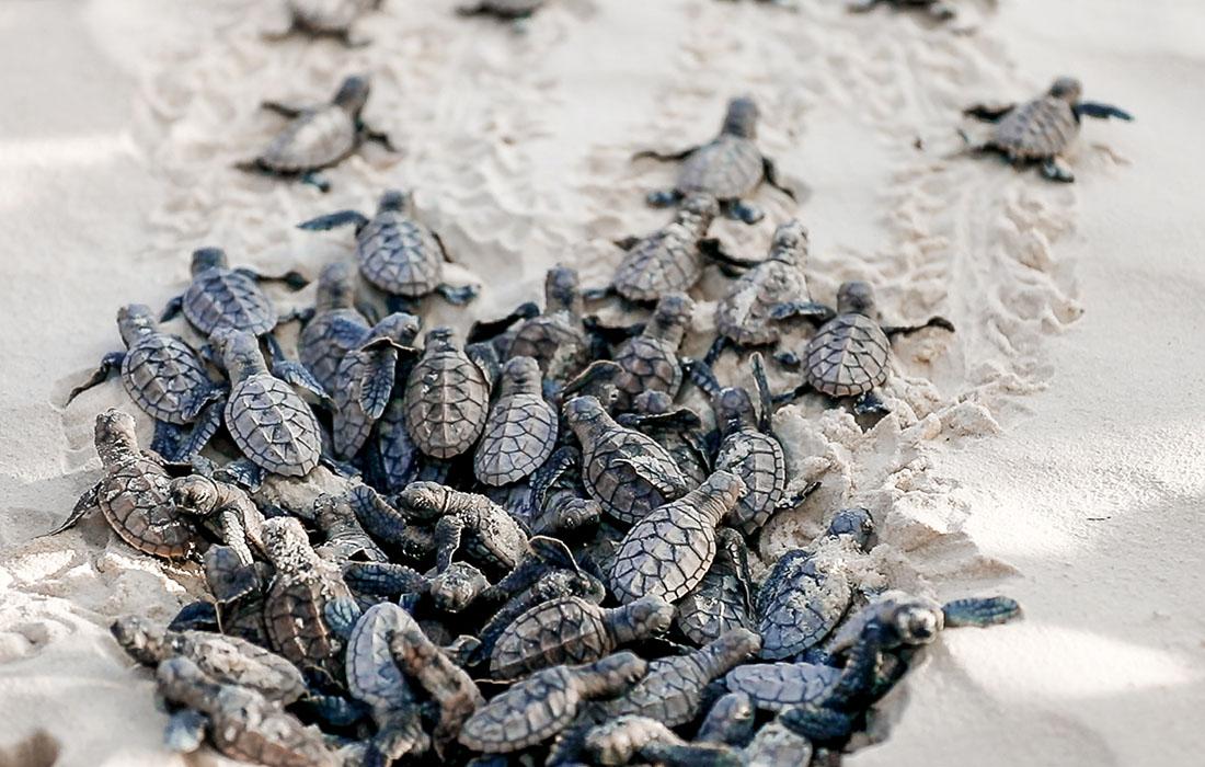 Sea Turtle Hatching - Kagi Maldives Spa Island