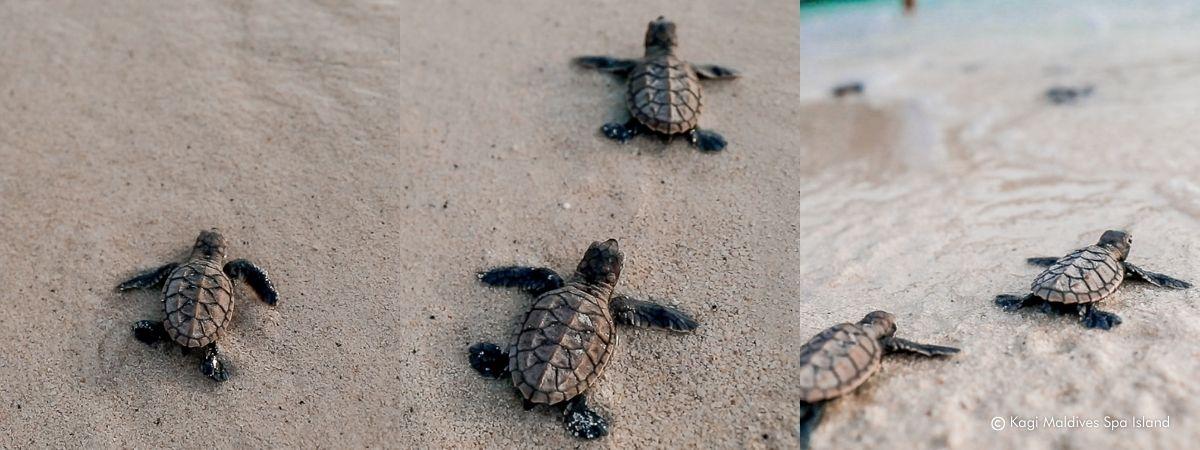 Sea Turtle Hatchling Release - Kagi Maldives Spa Island
