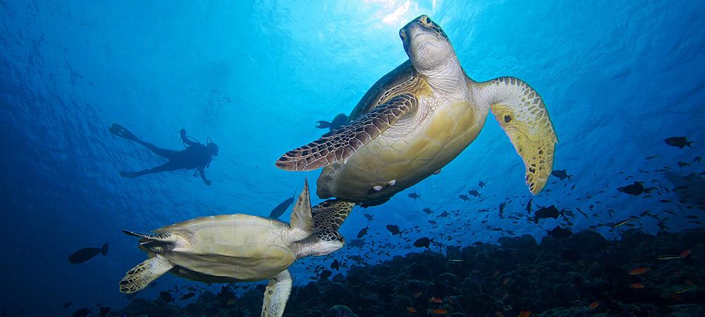 The Maldives Bucket List - Swim with Sea Turtles with Kuredu