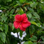 Innahura - Flower Garden - Hibiscus