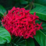 Innahura - Flower Garden - Jungle geranium